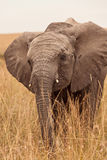 Baby Elephant in Kenya. Close-up portrait of baby Elephant, Safari kenya, Masai Mara national park 2011 - East Africa royalty free stock photography