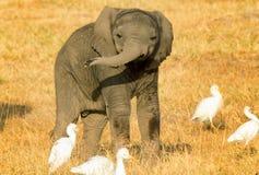 Baby elephant in Kenya Royalty Free Stock Photos
