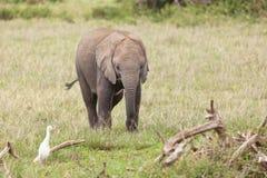 Baby Elephant, Kenya Royalty Free Stock Images