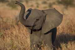 Baby Elephant. In the Kruger National Park royalty free stock photo