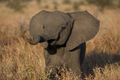 Baby Elephant Stock Photos