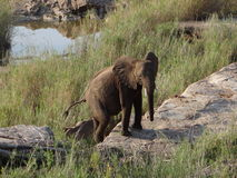 Baby Elephant in Kruger National Park Stock Image