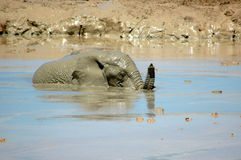 Baby elephant in lake. Baby African elephant wallowing in lake or watering hole Stock Photography