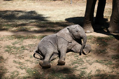 Baby elephant. Laying on the ground Royalty Free Stock Photography