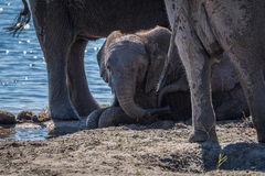 Baby elephant lies in mud beside river Royalty Free Stock Photo