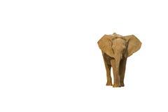 Baby elephant; Loxodonta Africana. Baby elephant against a white background stock image