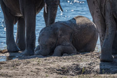 Baby elephant lying in mud beside river Royalty Free Stock Photo