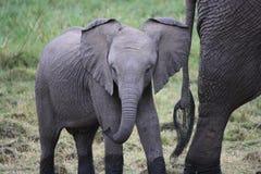 Baby Elephant. In the Masai Mara Kenya stock images