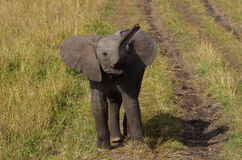 Baby elephant. 3 months old baby elephant playing around Stock Photography