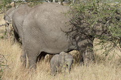Baby elephant and mother Royalty Free Stock Images