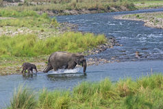 Baby elephant with mother. Baby elephant crossing river with mother at Jim Corbett National Park, Nainital, India royalty free stock photography
