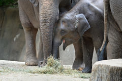 Baby Elephant With Mother Stock Image