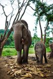 Baby elephant and mother eating corns Royalty Free Stock Photography