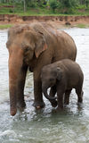 Baby-elephant and mother elephant. Walking  close to each other in streaming water Stock Photography