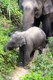 Baby elephant and mother out for a stroll. Baby elephant kicking up a fuss Royalty Free Stock Images
