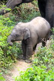 Baby elephant and mother out for a stroll. Baby elephant learning from mother Royalty Free Stock Photo