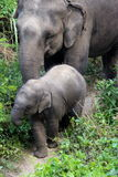 Baby elephant and mother out for a stroll. Baby elephant learning from mother Stock Photo