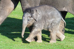 Baby Elephant Beside Mother Stock Image