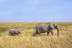 Baby Elephant with Mother Walking on Safari Royalty Free Stock Images