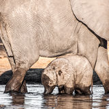 Baby Elephant with Mother in Water Stock Images