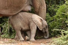 Baby Elephant Nap Royalty Free Stock Image