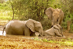 Baby elephant needs help. In the serengetti in tanzania a mother elephant, and aunt help baby elephant from the pond. the family was playing together when the royalty free stock photo