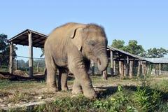 Baby Elephant - Nepal Stock Photo