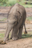 Baby elephant. Nepal. in close-up Royalty Free Stock Photos
