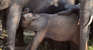 Baby Elephant Nursing Stock Photos