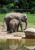 Baby Elephant nursing his Mom at the Zoo. A baby elephant nurses his mother at the Columbus zoo with fence behind them Royalty Free Stock Images