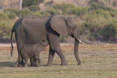 Baby elephant nursing milk from mother Royalty Free Stock Photography