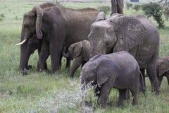 Baby elephant nursing Stock Images