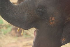 Baby elephant opening its mouth wide open stock photos