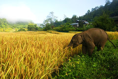 Baby elephant at paddy field Royalty Free Stock Image