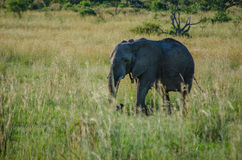 Baby Elephant. Photo taken in Pilanesberg National Park, South Africa royalty free stock images