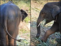 Baby elephant. Pictutes of baby elephant, butt and tail and feeding baby elephant Stock Images