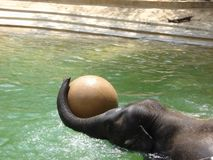 Baby elephant playing Stock Photos