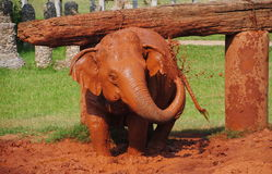 Baby elephant playing Royalty Free Stock Photos