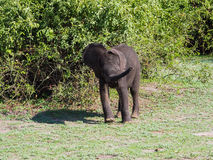 Baby elephant playing naughtily at green bush. On sunny day Royalty Free Stock Photography