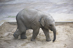 Baby elephant playing in the sandbox. Stock Photo