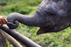Baby elephant playing stick with trunk at Chitwan national Park Nepal Royalty Free Stock Image