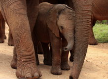 A baby elephant protected by her mother Stock Photos