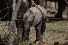 Baby Elephant protected by herd. Baby Elephant stays close to his mother's side Stock Photo
