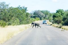 A baby elephant races across a road. A small baby elephant scurries across a road in the Kruger park, South Africa royalty free stock image