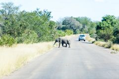 A baby elephant races across a road. A small baby elephant scurries across a road in the Kruger park, South Africa stock photography