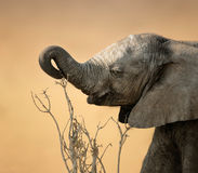Baby elephant reaching for branch Stock Image