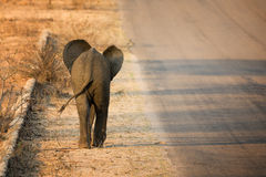 Baby elephant rear view Stock Image