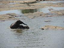 Baby elephant on the river Stock Photography