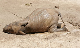 Baby Elephant rolling in the mud and water. A baby elephant, rolling himself with in the mud and water royalty free stock image