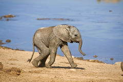 Baby Elephant run Royalty Free Stock Images
